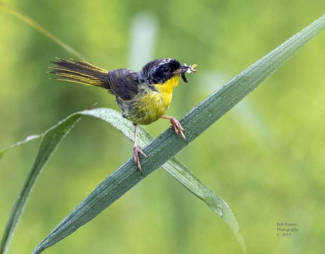 Warbler Common Yellowthroat 2.