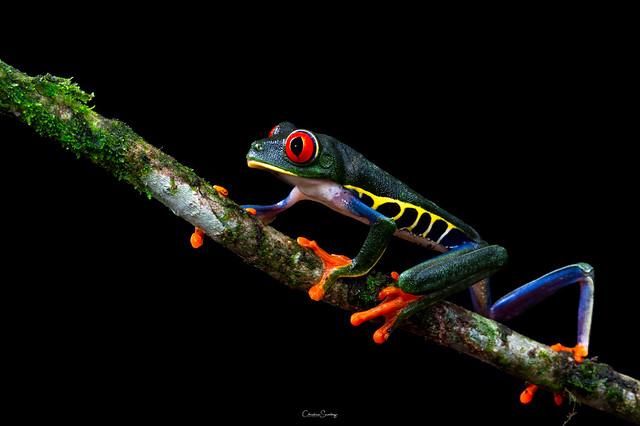 Red- eyed Leaf Frog
