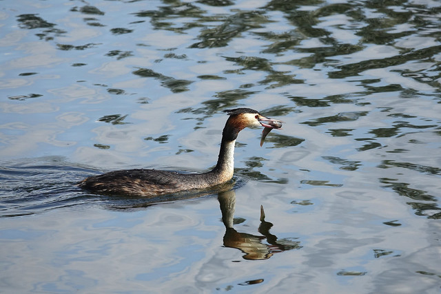 Great Crested Grebe with dinner.