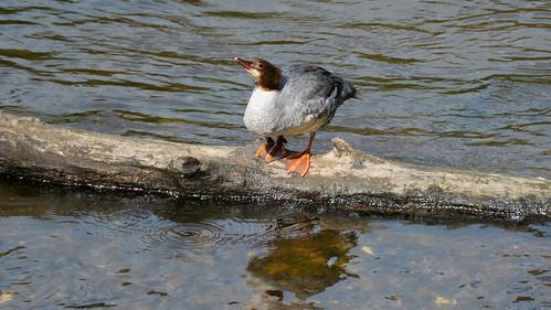 Lone goosander on Severn log