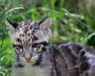 Clouded leopard cub 212
