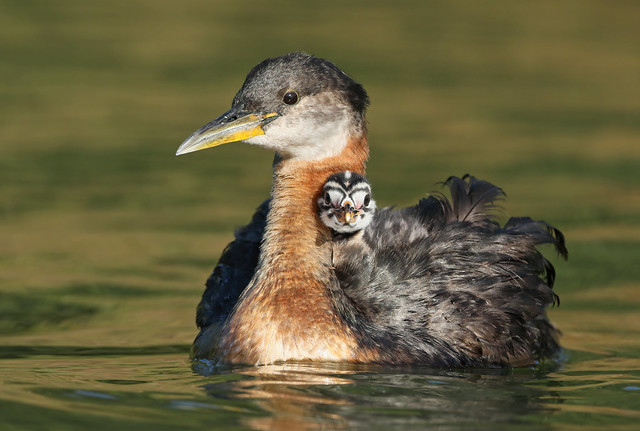 Mama and Baby Red-necked Grebes