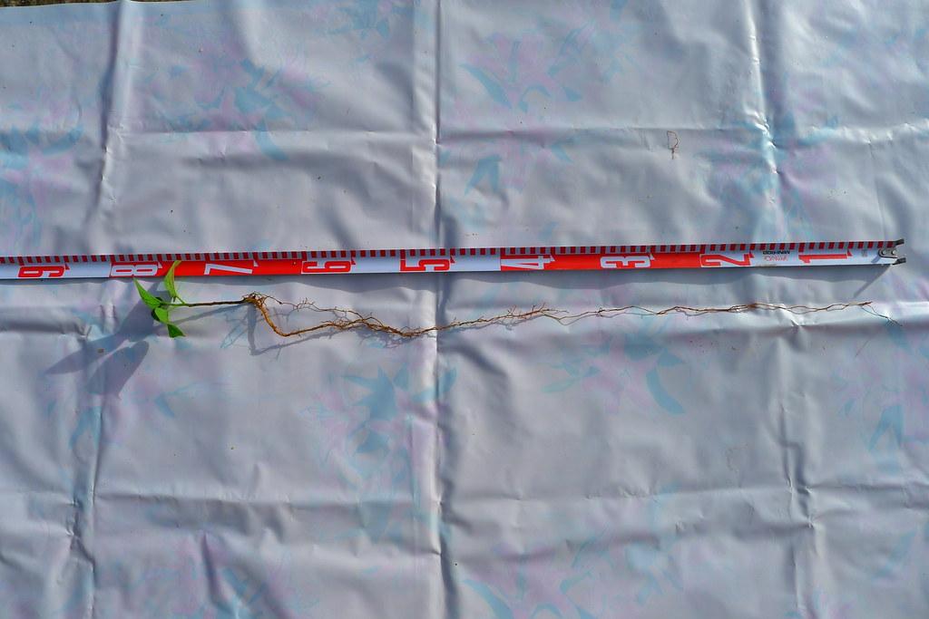 山芙蓉小苗植株與根系。圖片來源:林試所