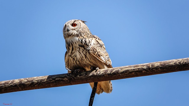 Owl - 7172