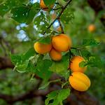 Kayısı ( Apricot )