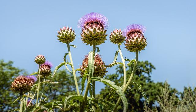 Budding and flowering Artichoke plants