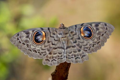 Erebus macrops - the Owl Moth