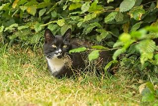 Kira Katze in der Hecke