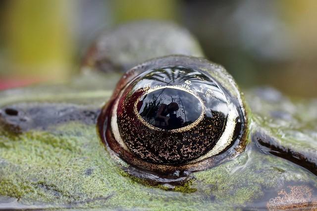 Frosch  / frog (2)