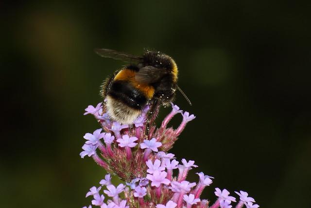 White-tailed Bumblebee (Bombus lucorum)