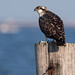 Osprey of the Jersey Shore | 2019 - 25