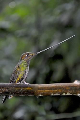 Sword-billed Hummingbird (Ensifera ensifera), Papallacta, Ecuador