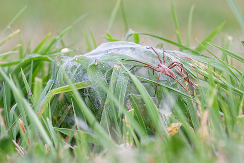 Tent of the Nursery Web Spider