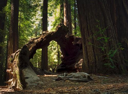 Redwood Opening