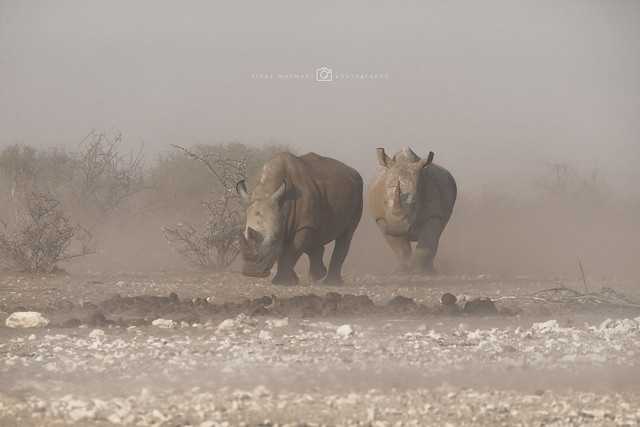 Rhino's in a sandstorm