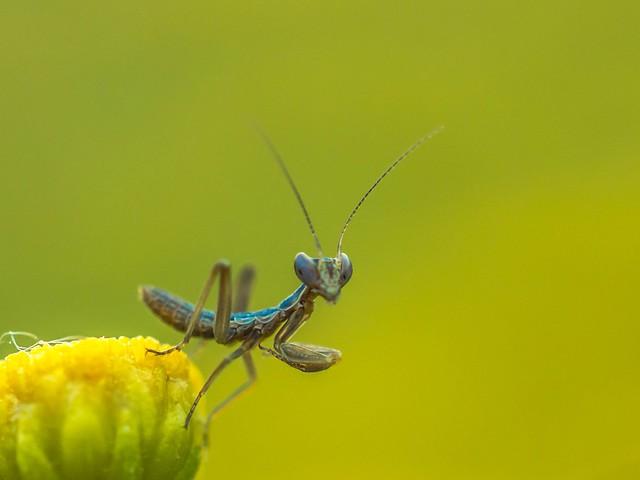 Mantis?