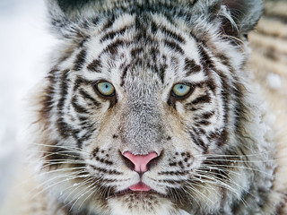 Close white tiger portrait