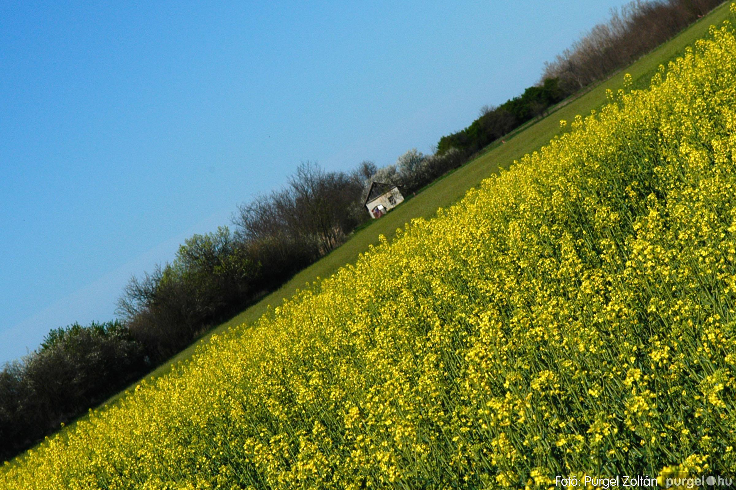 2007.04.08. 001 Virágzó repcemező Szegvár határában - Fotó:PURGEL ZOLTÁN© DSC_0202q.jpg