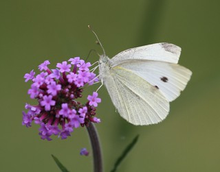 Small White Butterfly2