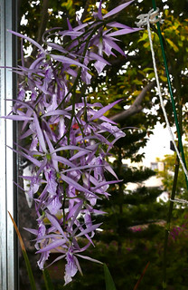 Encyclia adenocaula species orchid