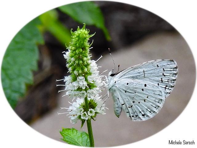 Enjoying the mint flower