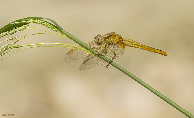Crocothemis erythraea. Young female