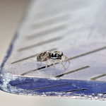 Do, 01.08.19 - 10:33 - Sooo klein :O  Salticus scenicus juvenile Zebra jumping spider baby  Stadel, Winterthur