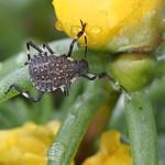 So, 28.07.19 - 13:24 - Halyomorpha halys BMSB Baumschädling - aber doch schön :)  Mamas Garten, Amriswil