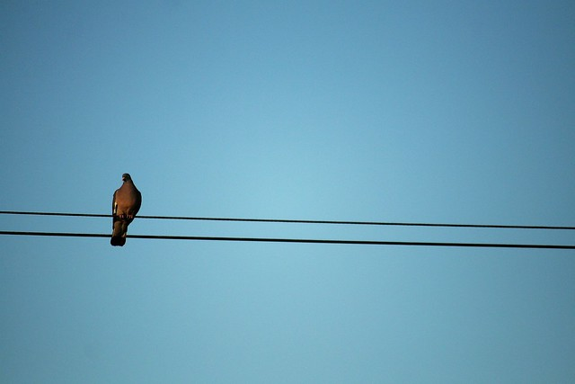 another bird on a wire