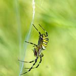 Do, 01.08.19 - 08:50 - Argiope bruennichi Wasp spider  Gurisee