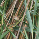 Sa, 27.07.19 - 16:17 -  Acrocephalus scirpaceus Common Reed-warbler  Gurisee