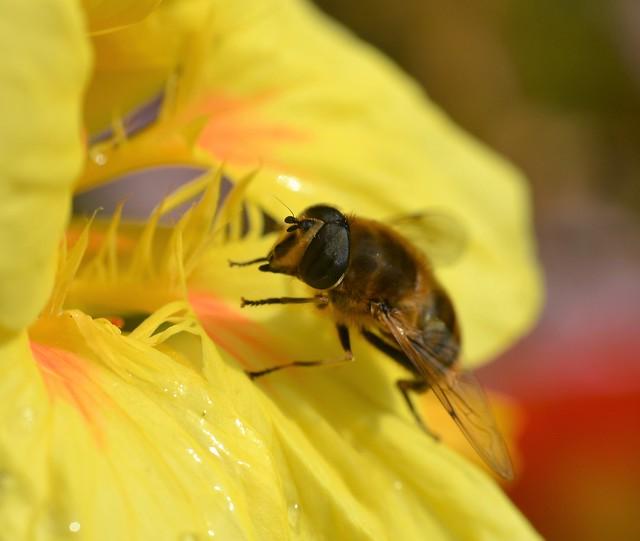 Eristalis tenax on a wet nasturtium flower