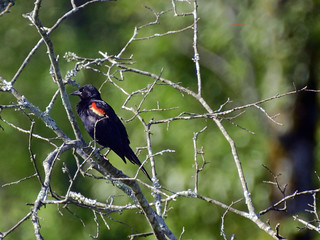 Red Winged Blackbird@ Brainerd  Levee | by mark owens2009