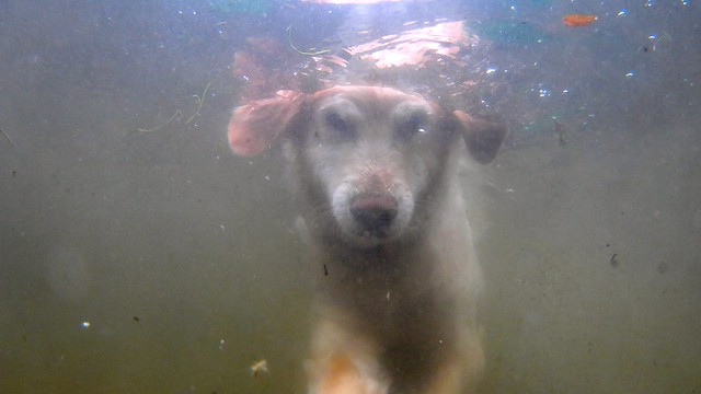 waggy swims - underwater golden