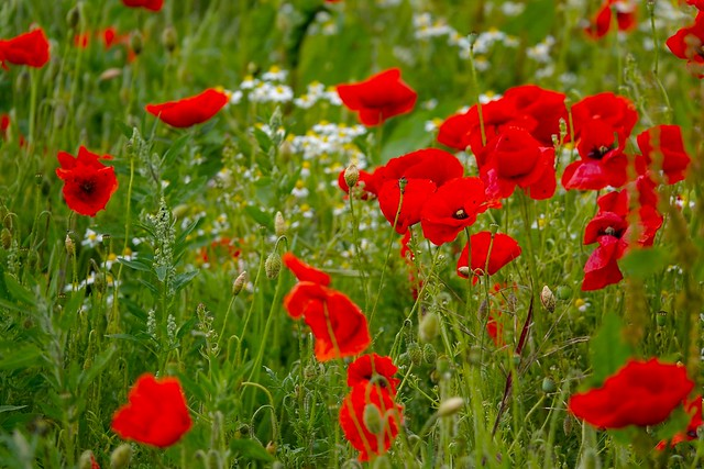 Poppy colours in meadows and fields