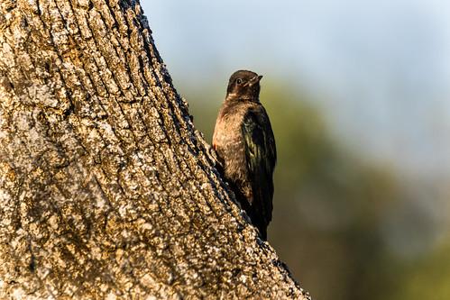 Lewis's Woodpecker (Melanerpes lewis) Immature