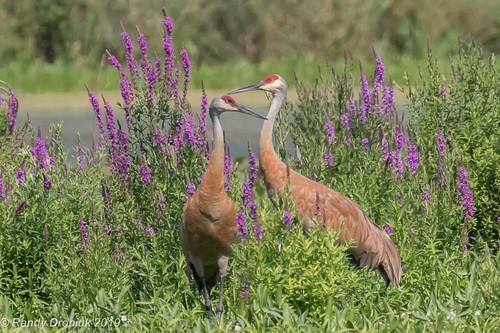 birds cranes wadingbirds sandhillcrane oiseaux grue grueducanada gruscanadensis antigonecanadensis hespelermillpond