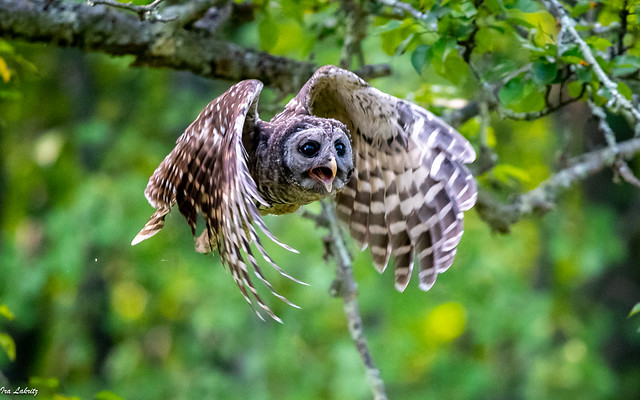 Barred Owlet chasing his sibling