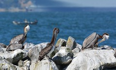 CA Brown Pelicans on Breakwater Island at Alameda Point