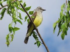 Western Kingbird, Grand Co., Utah 6/22/2019