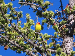 Western Tanager, Dixie NF, Utah 6/23/2019