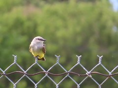 Western Kingbird, Burlington, CO 6/20/2019