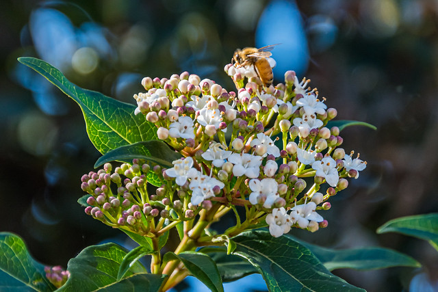 White blossom flowers and a honey bee