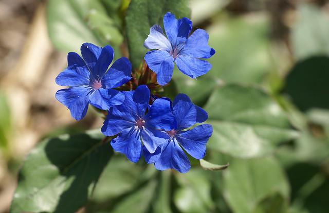 Hornnarbe, kriechende / hardy blue-flowered leadwort (Ceratostigma plumbaginoides)