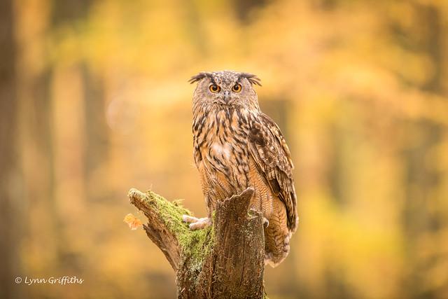 Eurasian Eagle Owl - Autumn bokeh D85_6653.jpg