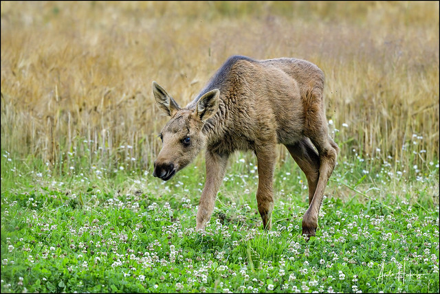 Moose calf has arrived to the late night buffet at the clover field.