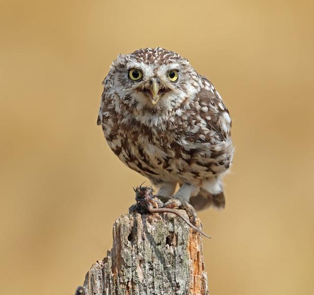 Little Owl (Explored!)