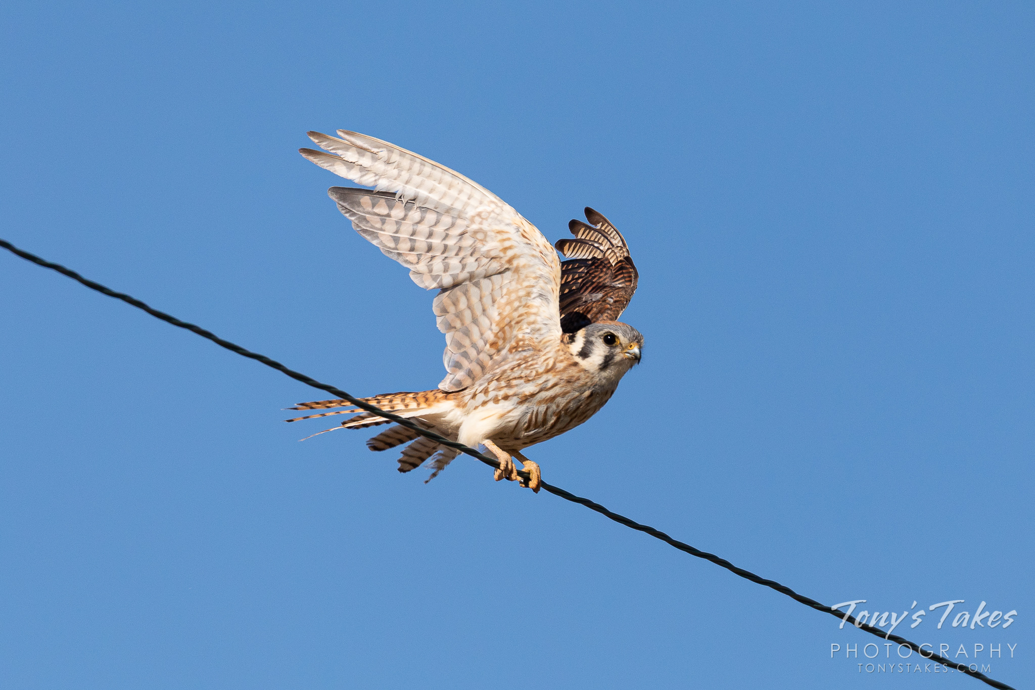 A female American kestrel takes flight on the Great Plains. (© Tony's Takes)