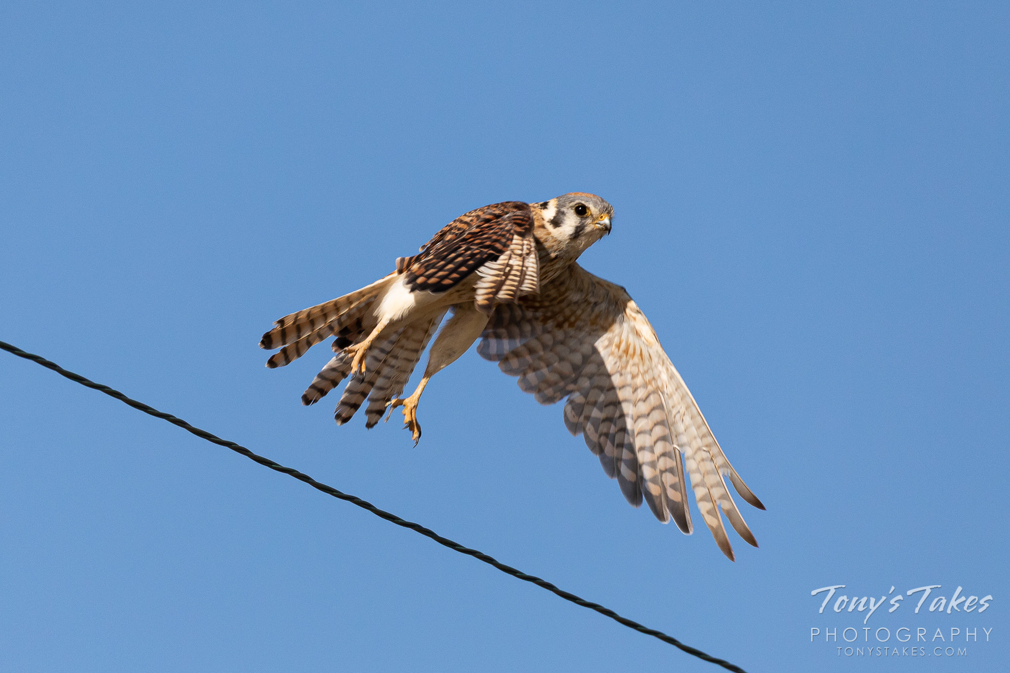 A female American kestrel takes to the skies. (© Tony's Takes)