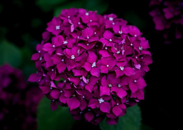 Hortensia in pink